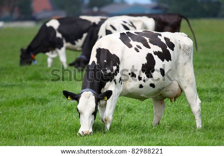 dairy cows grazing on a pasture in Friesland(Holland) - stock photo
