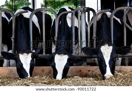 Dairy cows in a farm. - stock photo