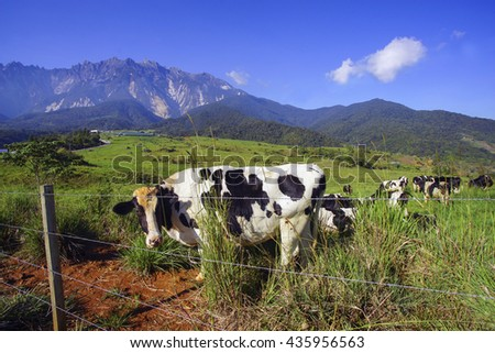 Dairy cows in paddock eating fress grass under the blue sky, New Zealand - stock photo
