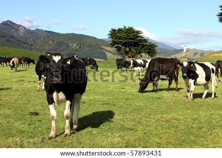 Dairy cows, Taranaki, New Zealand - stock photo