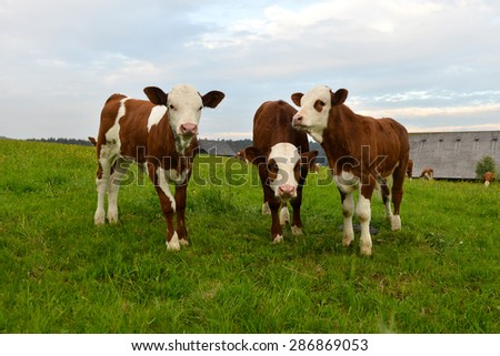 Dairy young cows - stock photo