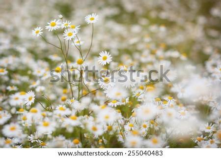 daisies - stock photo