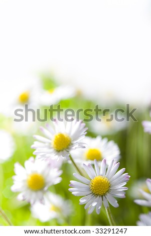 Daisies growing in grass close up with blurred elements fading to white at top. - stock photo