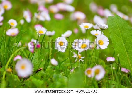 daisies in a meadow, close-up, natural background - stock photo