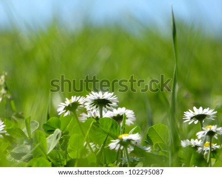Daisies in the grass as a background - stock photo