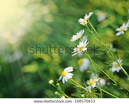 Daisies in the morning - stock photo