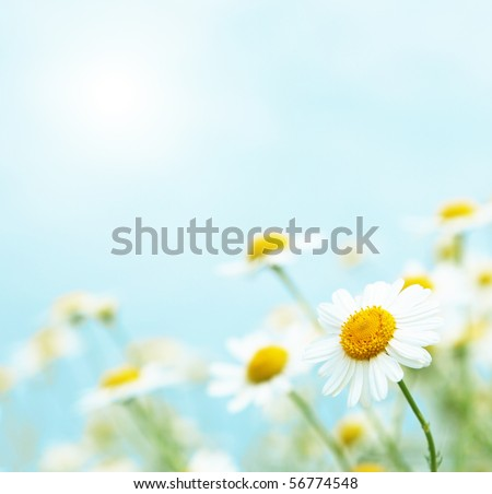 Daisies in the morning. - stock photo