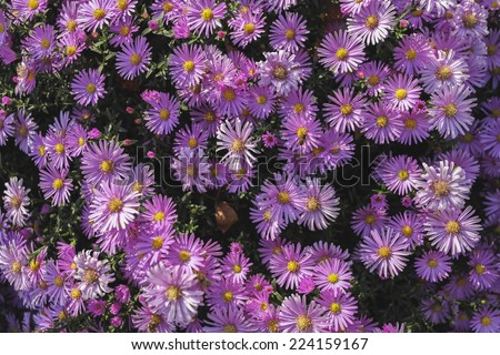 daisies purple flowerbed bush shrub shrubbery - stock photo