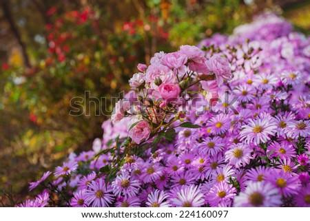 daisies roses purple flowerbed bush shrub shrubbery - stock photo