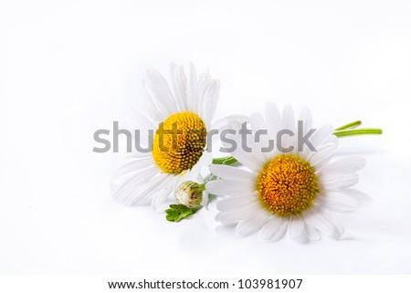 daisies summer  white flower isolated on white background - stock photo