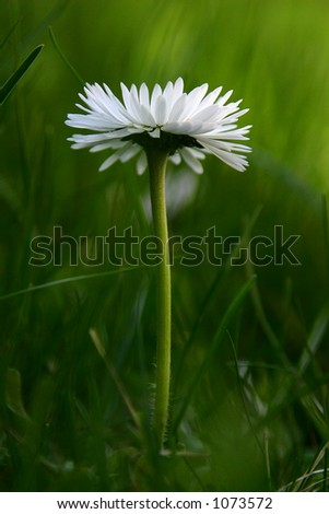 daisy - stock photo