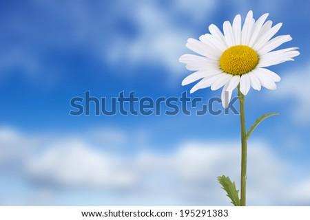 Daisy against blue cloudy sky background - stock photo
