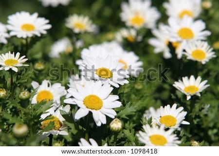 daisy background - stock photo