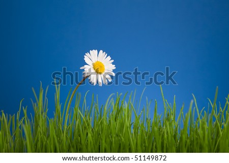 Daisy, chamomile on blue background, green grass - stock photo