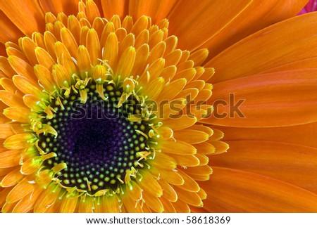 Daisy closeup - stock photo