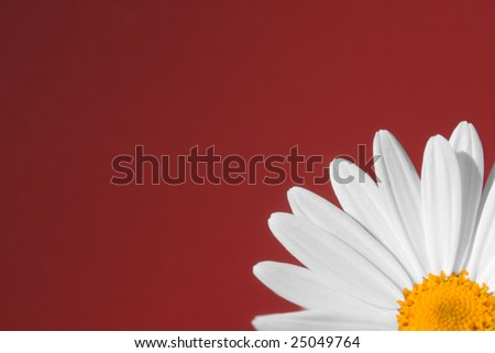 daisy closeup on red background - stock photo
