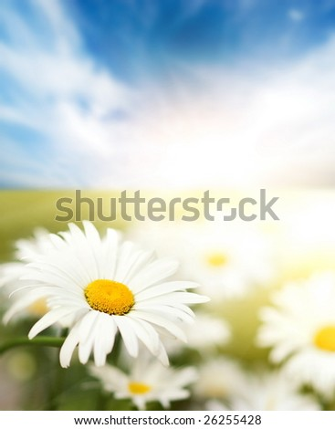 Daisy field - stock photo