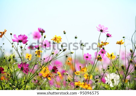 Daisy flower against blue sky,Shallow Dof. - stock photo