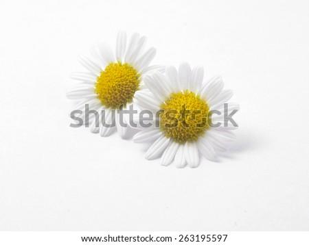 daisy flower against white background - stock photo