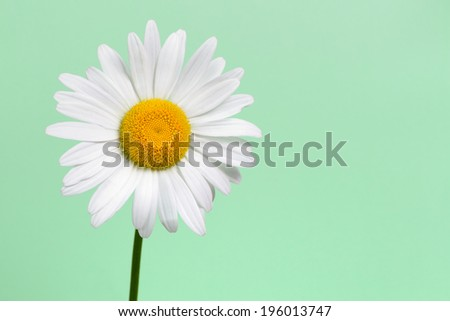 Daisy flower closeup on green background - stock photo