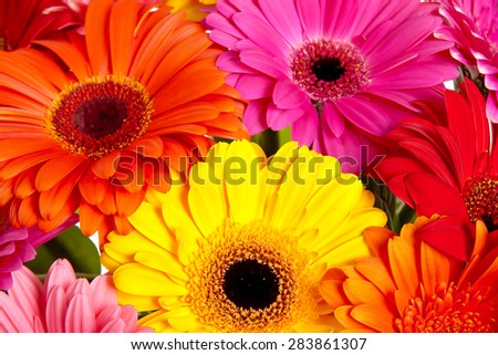 Daisy flower gerbera bouquet isolated - stock photo