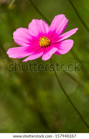 Daisy flower in chiangmai Thailand - stock photo