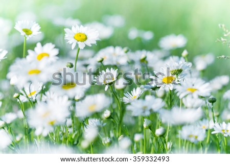 Daisy flower in meadow - beautiful nature in spring - stock photo