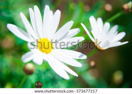 daisy flower in the field - stock photo