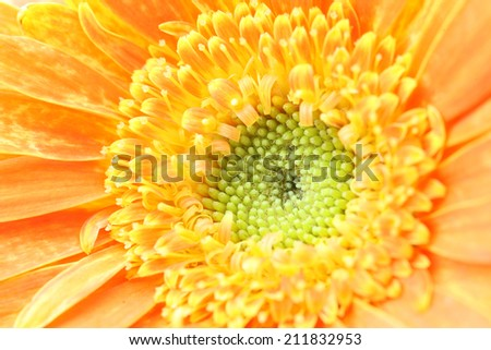 Daisy Flower Macro Bellis Perennis - stock photo