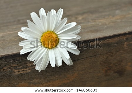 Daisy flower on wooden background  - stock photo