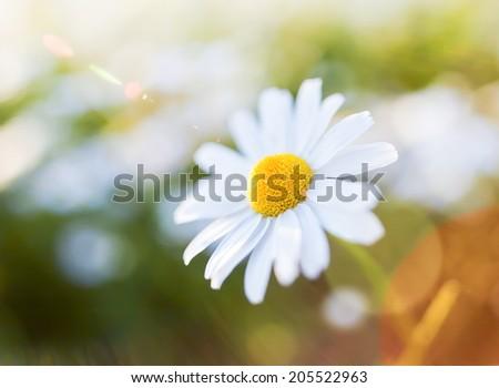 Daisy flower with lens flare. Snapshot with shallow depth of field. - stock photo