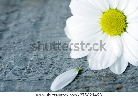 Daisy flower with lost petal over wood background, cold filter - stock photo
