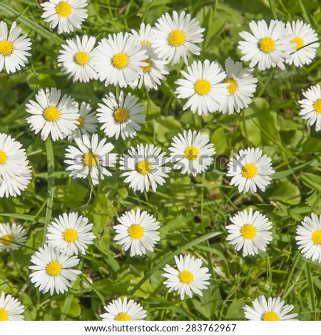 Daisy flowers and green grass, top view - stock photo