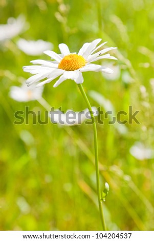 Daisy flowers in field of green grass. - stock photo