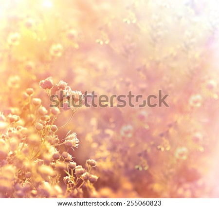Daisy flowers in meadow,  lot of little daisy flowers in spring lit by rays of setting sun - stock photo