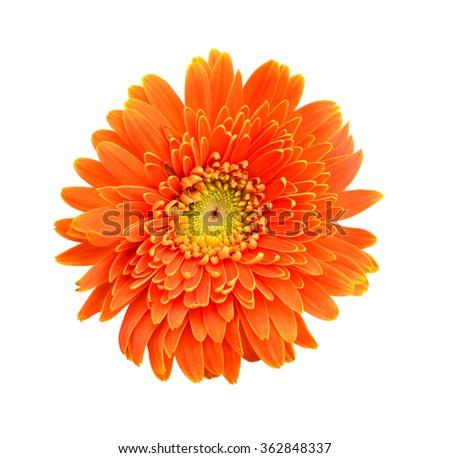 Daisy flowers isolated over white background - stock photo