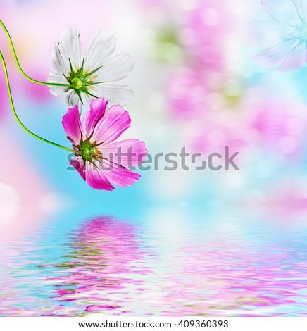 daisy flowers on blue sky background. Flowers cosmos - stock photo