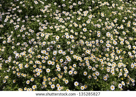 daisy flowers on garden - stock photo