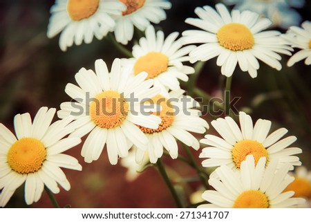 Daisy flowers on meadow, Instagram-like filtered image with selective focus - stock photo