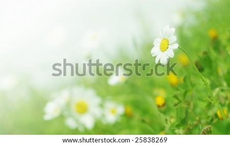 Daisy flowers (selective DOF); spring series B3 - stock photo