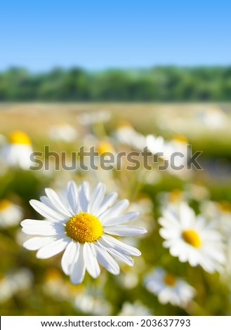 Daisy flowers. Snapshot with shallow depth of field. - stock photo