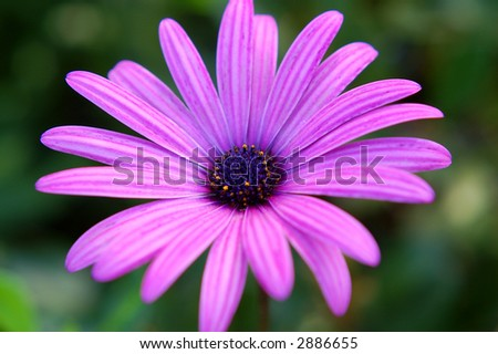 Daisy Gerbera - stock photo