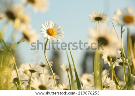 Daisy in a meadow against the blue sky. - stock photo