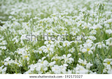 Daisy in a meadow rich in flowers at dawn - stock photo