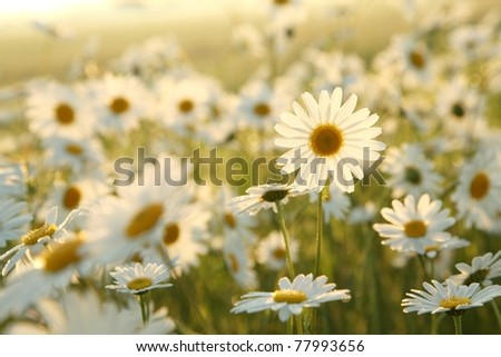Daisy in a meadow rich in flowers at dawn. - stock photo
