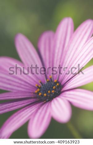 Daisy in bloom - stock photo