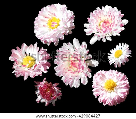 Daisy, marguerite flower perspective, fresh delicate petals isolated on black background. - stock photo