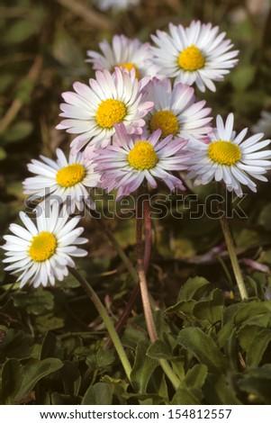 daisy mountain flowers - stock photo
