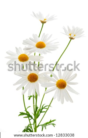 Daisy plant with flowers isolated on white background - stock photo