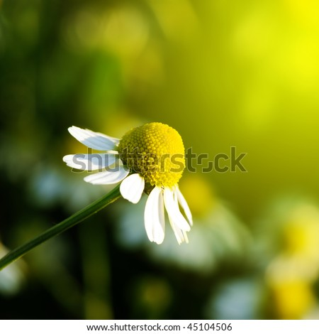 Daisy stretches toward the sun. Matricaria chamomilla. - stock photo